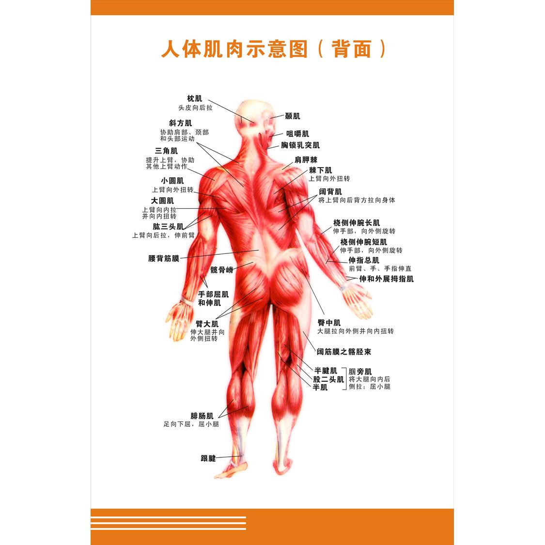 人体肌肉分布图_人体肌肉图解海报健身运动海报肌肉结构分布图健身器械使用示意图