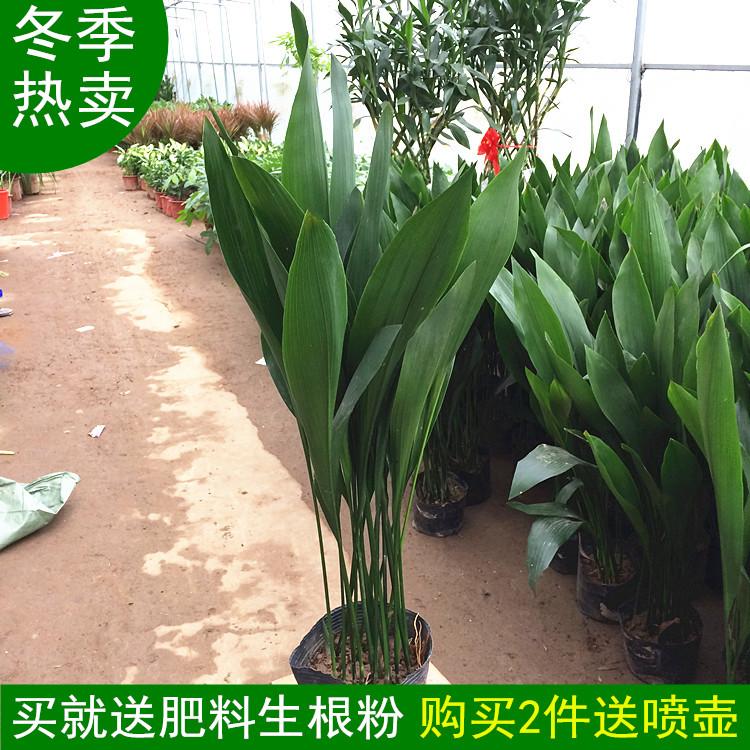 客厅绿植大型植物室内花卉盆栽净化空气四季常青一叶兰吸甲醛好养图片