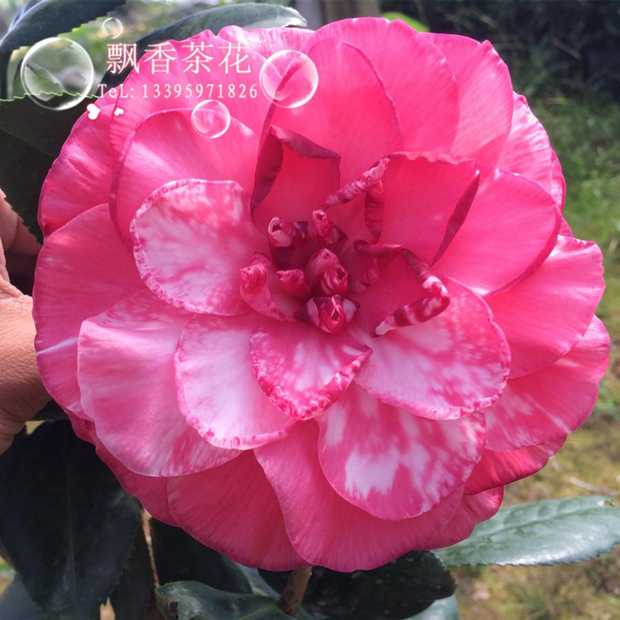 盆栽奇特的茶花品种-花贝拉-茶花新品种-花开巨大艳丽无比图片