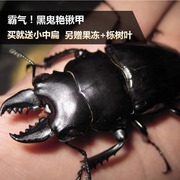 黑鬼艳锹甲成虫幼虫 黑鬼艳锹形虫鬼艳公虫母虫 宠物甲虫昆虫活虫