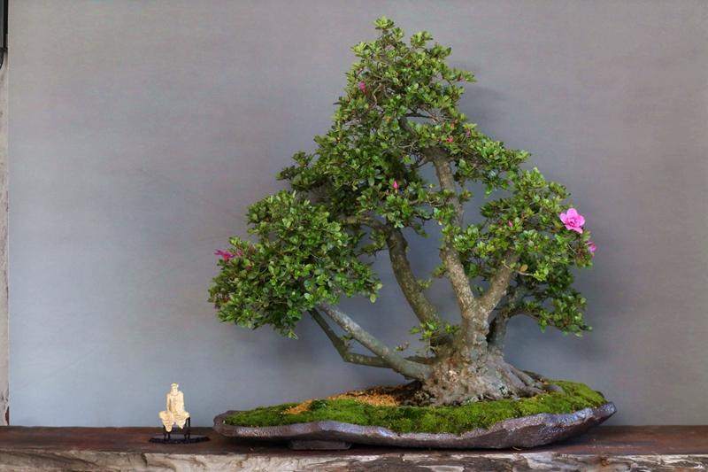 满园小品盆景 夏鹃 皋月 日本杜鹃 紫龙之舞 多杆丛林 大型收藏级图片