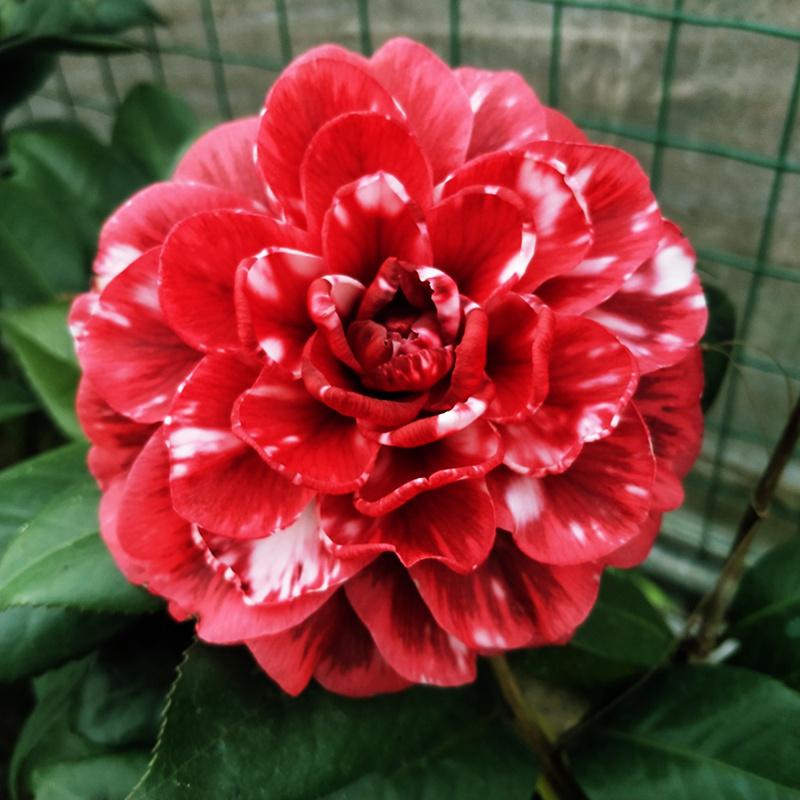 红叶贝拉山茶花带花苞盆栽室内花四季绿植花卉客厅阳台花苗好养图片