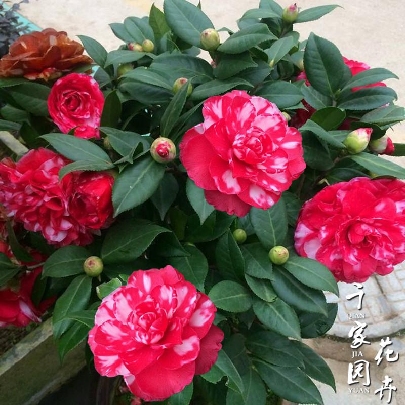 青叶贝拉大玫瑰山茶花苗纯色贝拉花色名贵花卉绿植庭院阳台图片