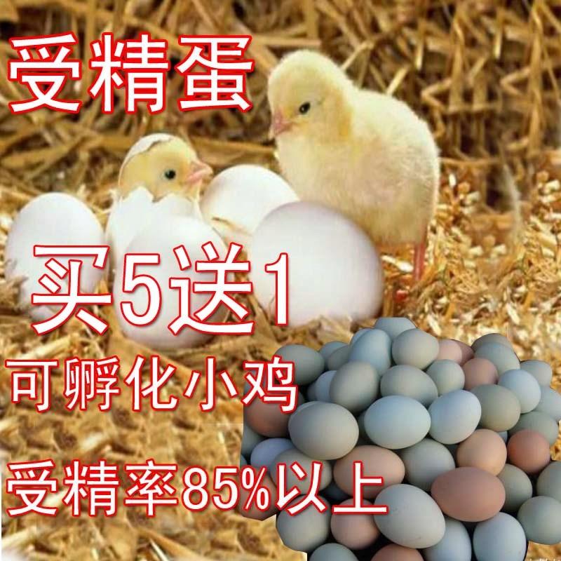纯正受精蛋种蛋北京油鸡蛋鹊山鸡蛋土鸡蛋柴鸡蛋可孵化小鸡包邮