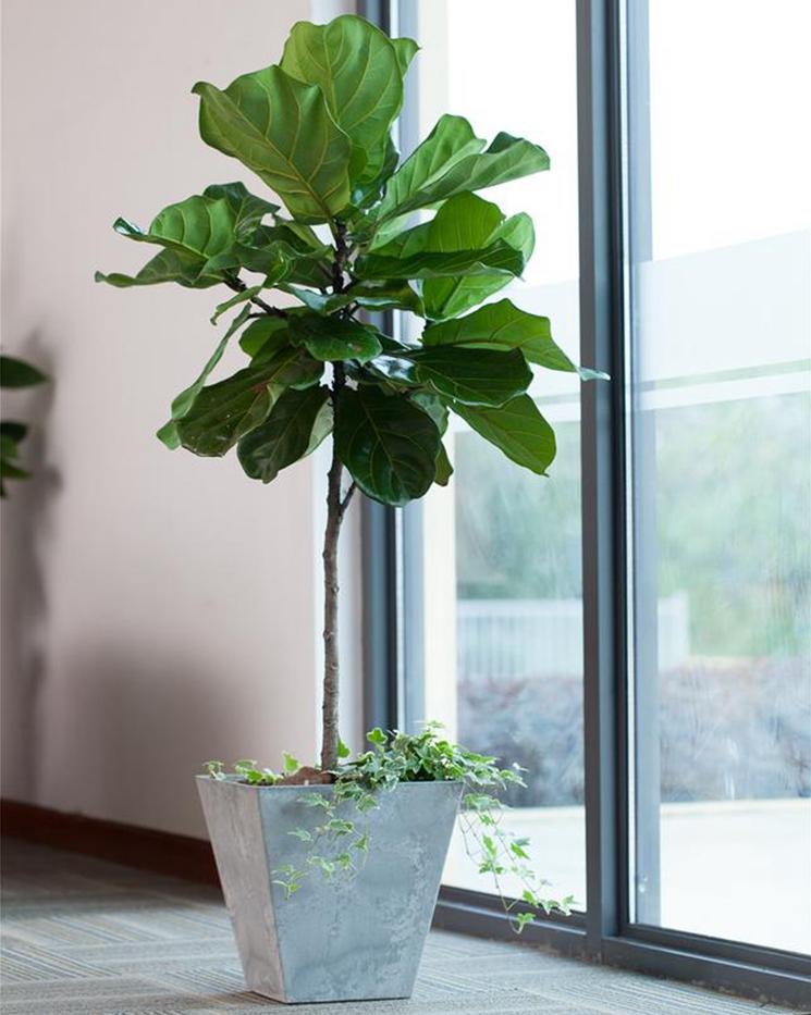 家居饰品 室内摆件高档观叶绿色植物 琴叶榕 琴叶榕盆栽 大盆栽图片
