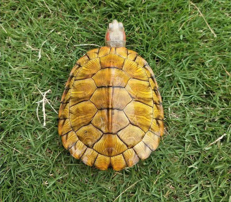 小乌龟活物 情侣 一对龟情侣龟宠物淡水龟成年观赏迷你情侣龟