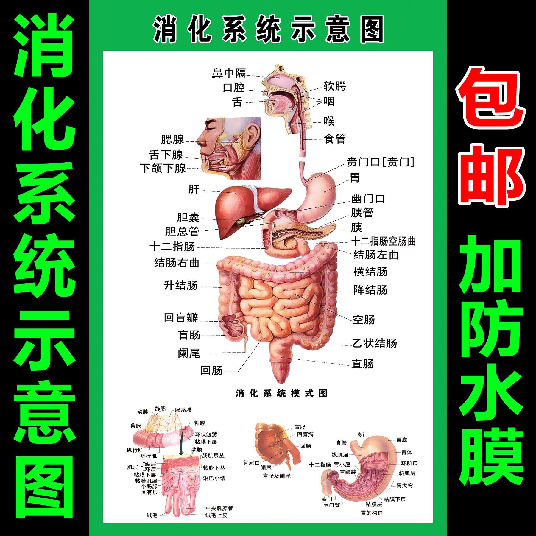 人体构成结构示意图_热卖消化肠道系统结构示意图医学宣传挂图人体器官医院布置海报图片