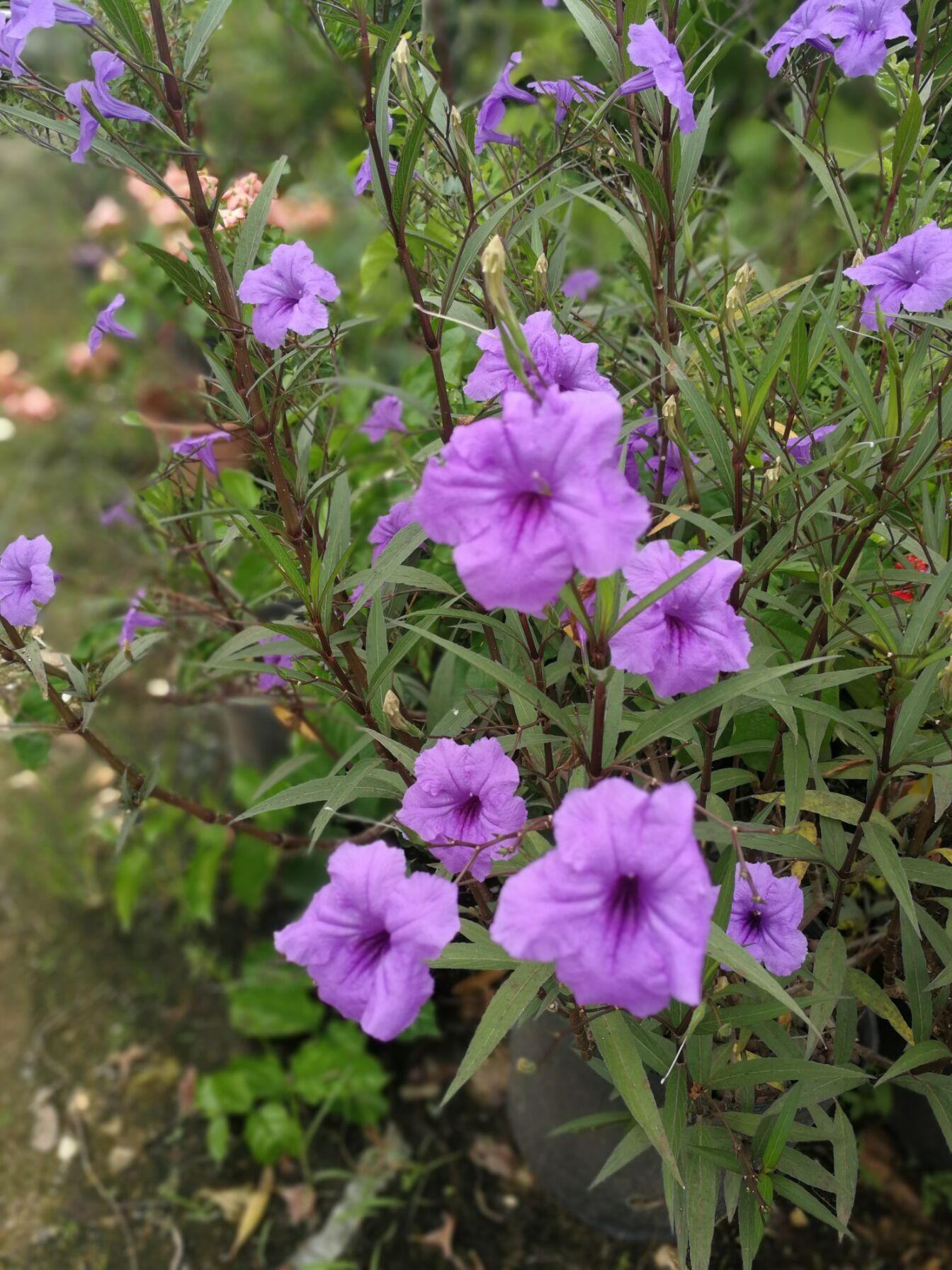 美国红枝深紫大花翠芦莉 花大色艳花比普通大一倍花开