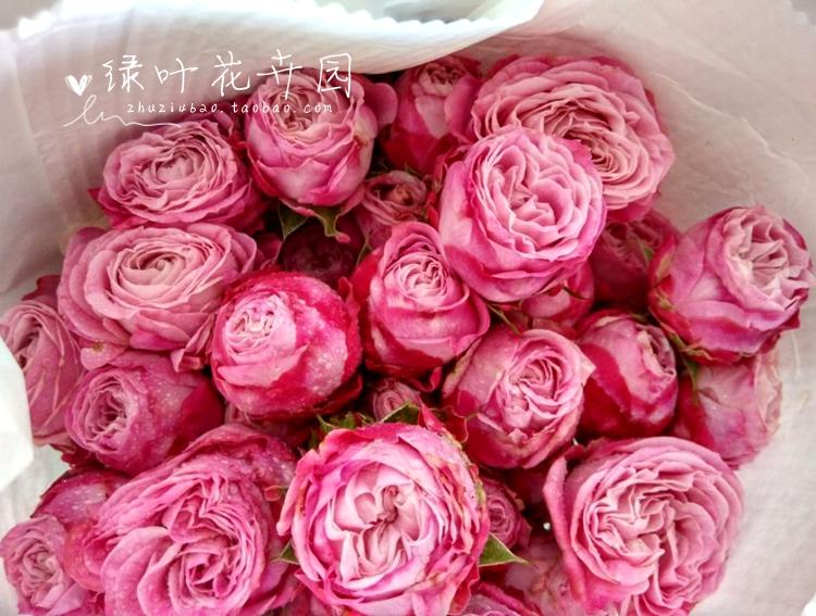 新品月季玫瑰 欧月 唐小姐(Miss Tang)大苗 灌木切花月季浓香型