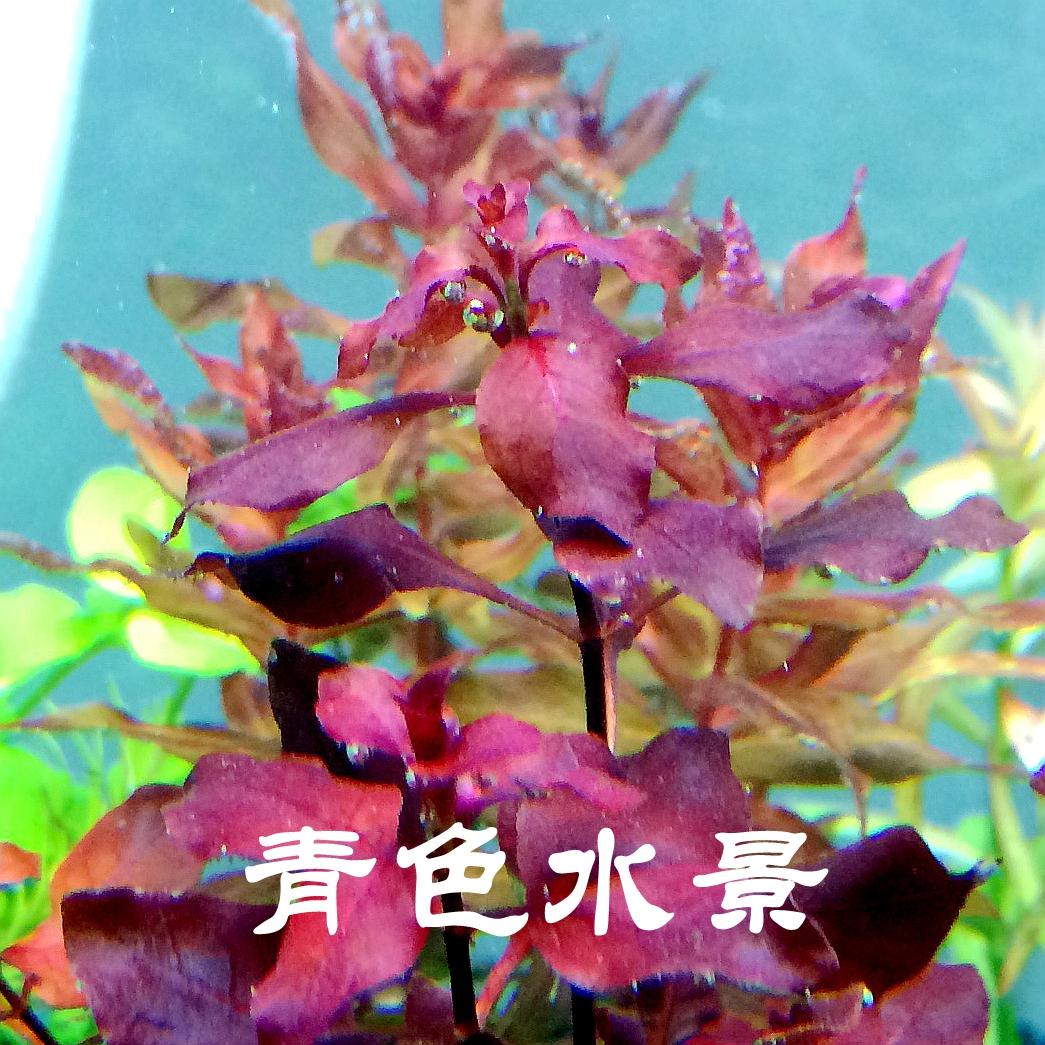 红玫瑰 卵叶丁香 水草 鱼缸水草缸中后景草红草中后景水草包邮