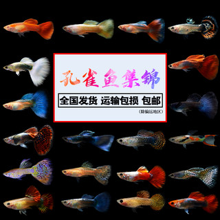 Guppies purebred maternal labor live anchovies seedling small freshwater tropical fish pet goldfish practiced hand