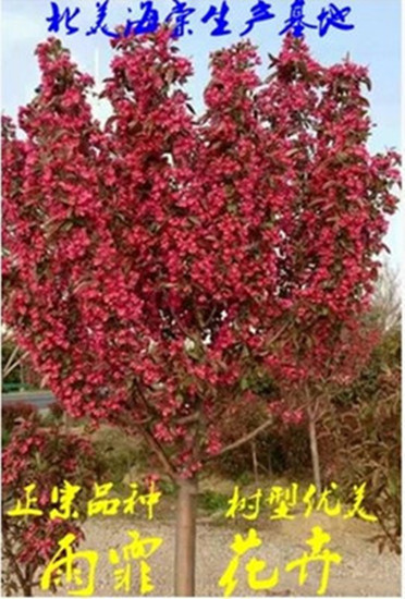 批发绿化苗木紫荆花苗满条红花卉观花植物紫荆花树苗庭院当年开花