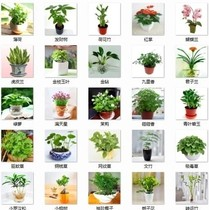 Flower seeds Four Seasons easy live flowering potted indoor balcony seeds