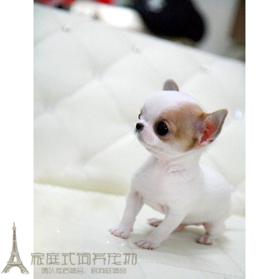 Long Chihuahua Chihuahua Puppy for sale small dog pet dog + pocket teacup  dog family dog gg