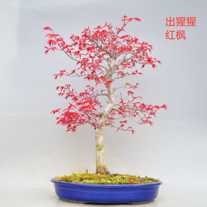 日本进口精品出小叶红枫树盆景盆栽老桩实物原生绿植猩猩室内