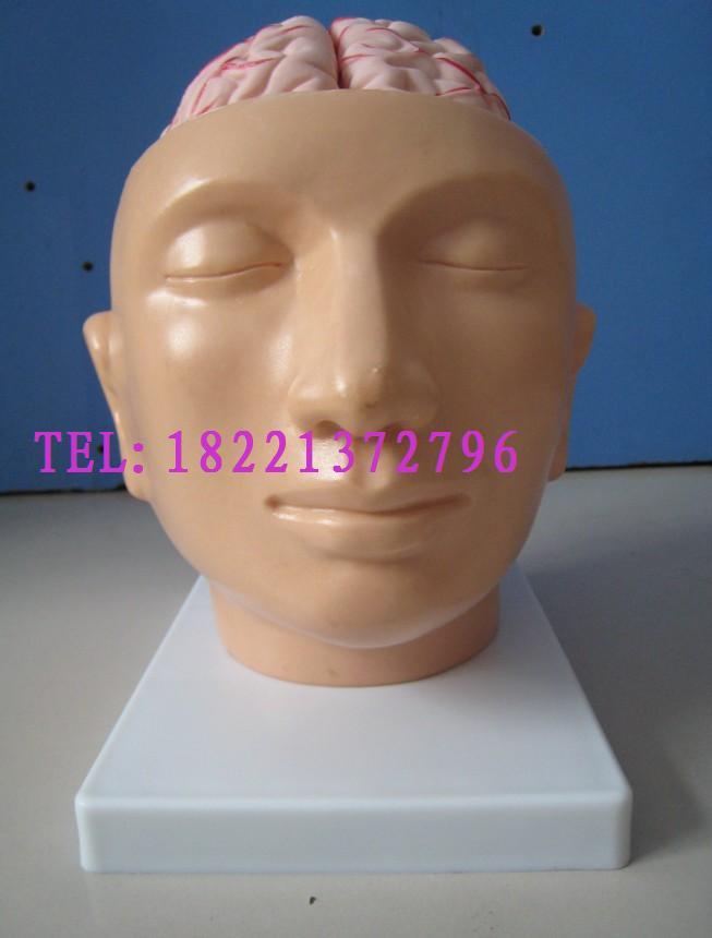 人体头部医用模型附脑自然模型人体大头部头解剖动脉模型教学模型