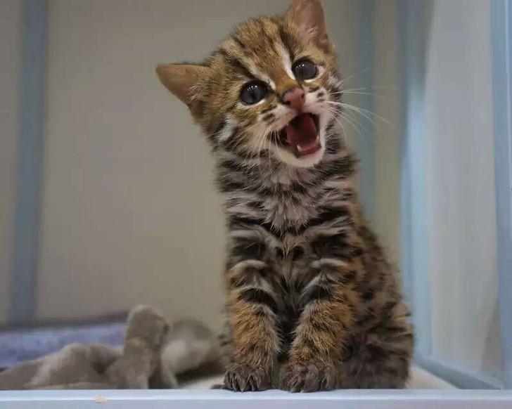 亚洲豹猫_亚洲豹猫