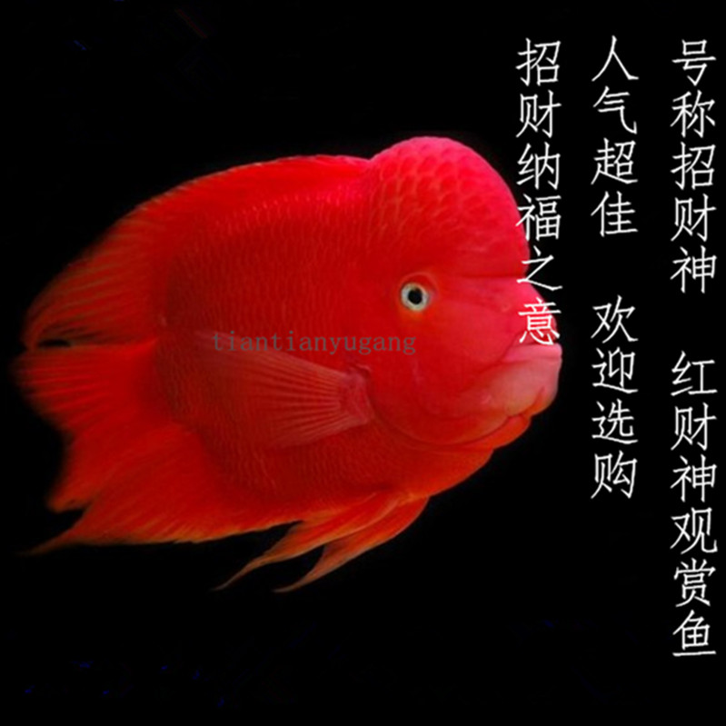Blood Parrot Fish Live Fresh Water Rich Gold Red Wealth Macaw Fry Feng Shui Tropical Ornamental