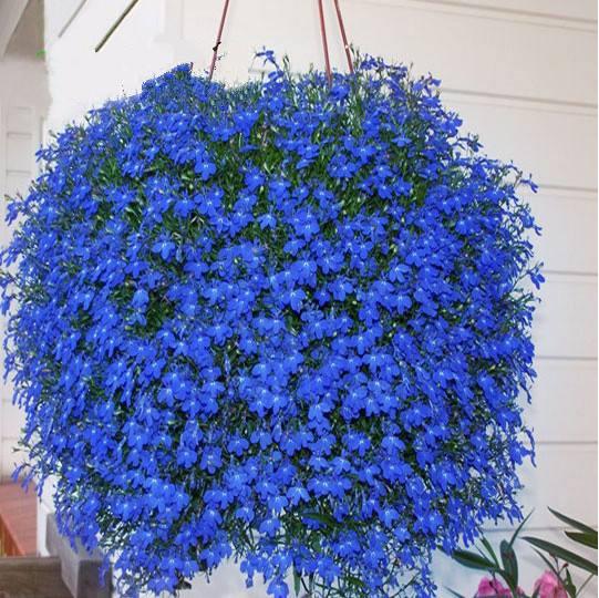 庭院种子花亚麻植物易种阳台花卉室内外垂吊兰花吊兰花籽四季盆栽