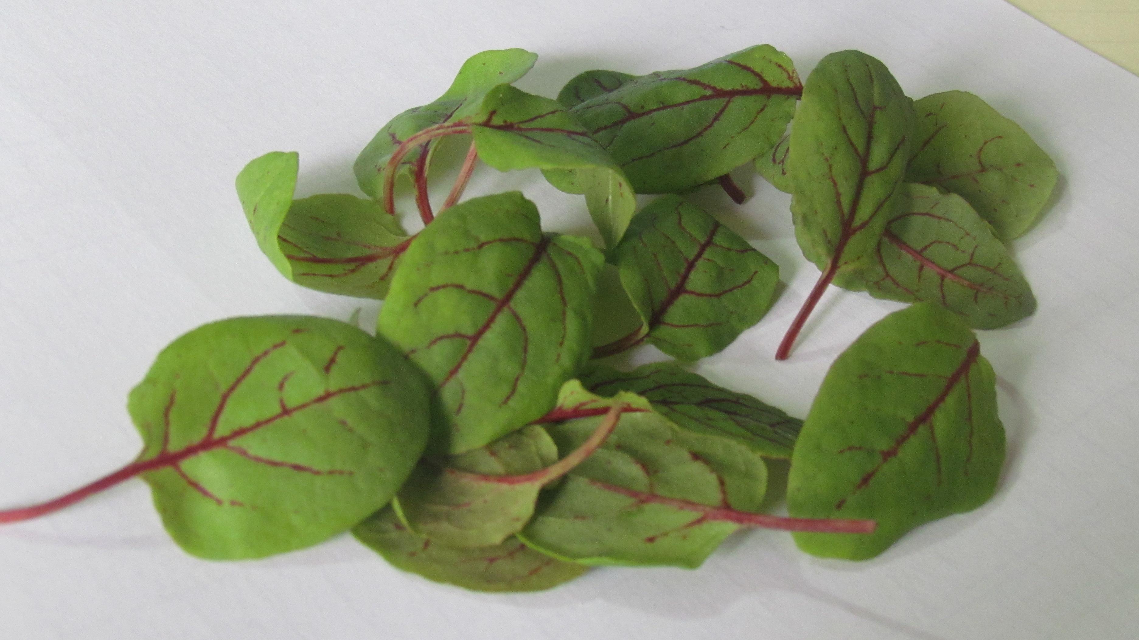 新鲜叶片 酸膜 红酸膜草 酸模叶 可食用 30片左右/盒图片