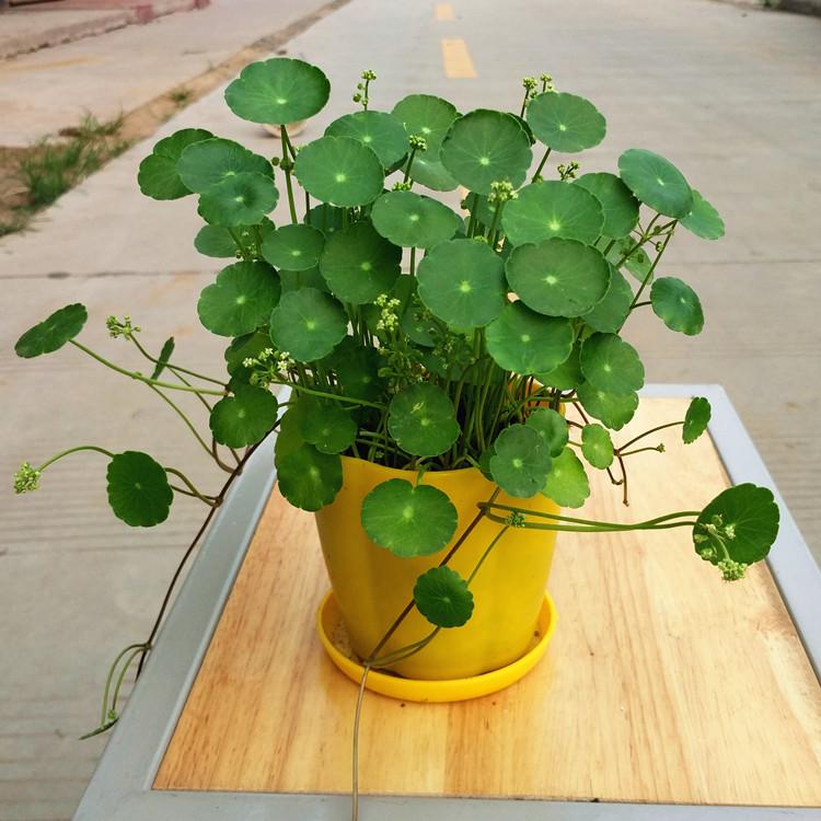 【带盆】防辐射铜钱草室内盆栽绿植套装