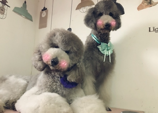 Purebred gray giant poodle puppies live pet dog large oversized giant dog silver gray teddy plus