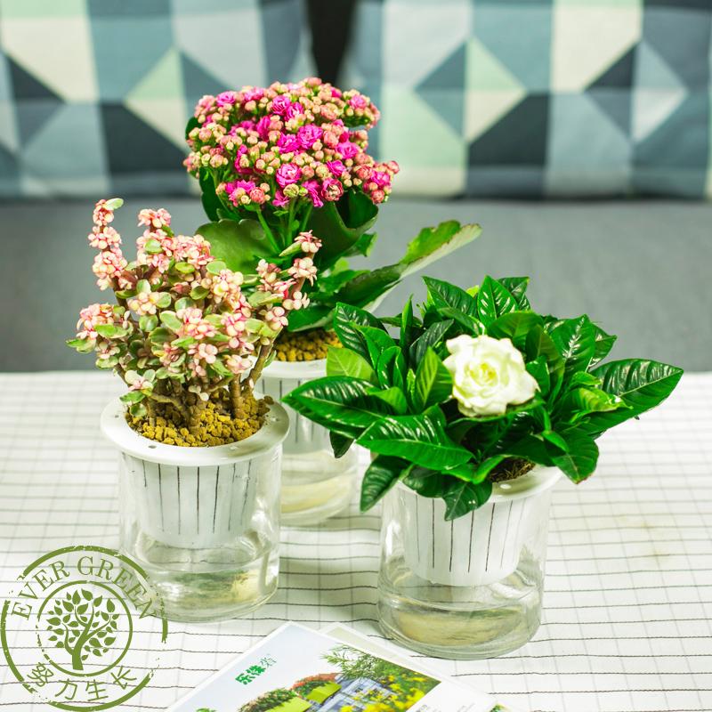 雅乐之舞绿萝栀子花花卉桌面室内盆栽绿植发财树办公室水培小植物