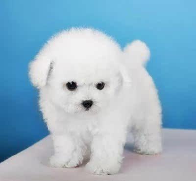纯种出售比熊幼犬活体法国卷毛狗狗宠物狗活体长不大的茶杯犬迷你