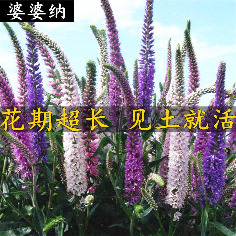 不断纳阳台花种子易活开花花籽婆婆易种室内盆栽种子四季庭院包邮