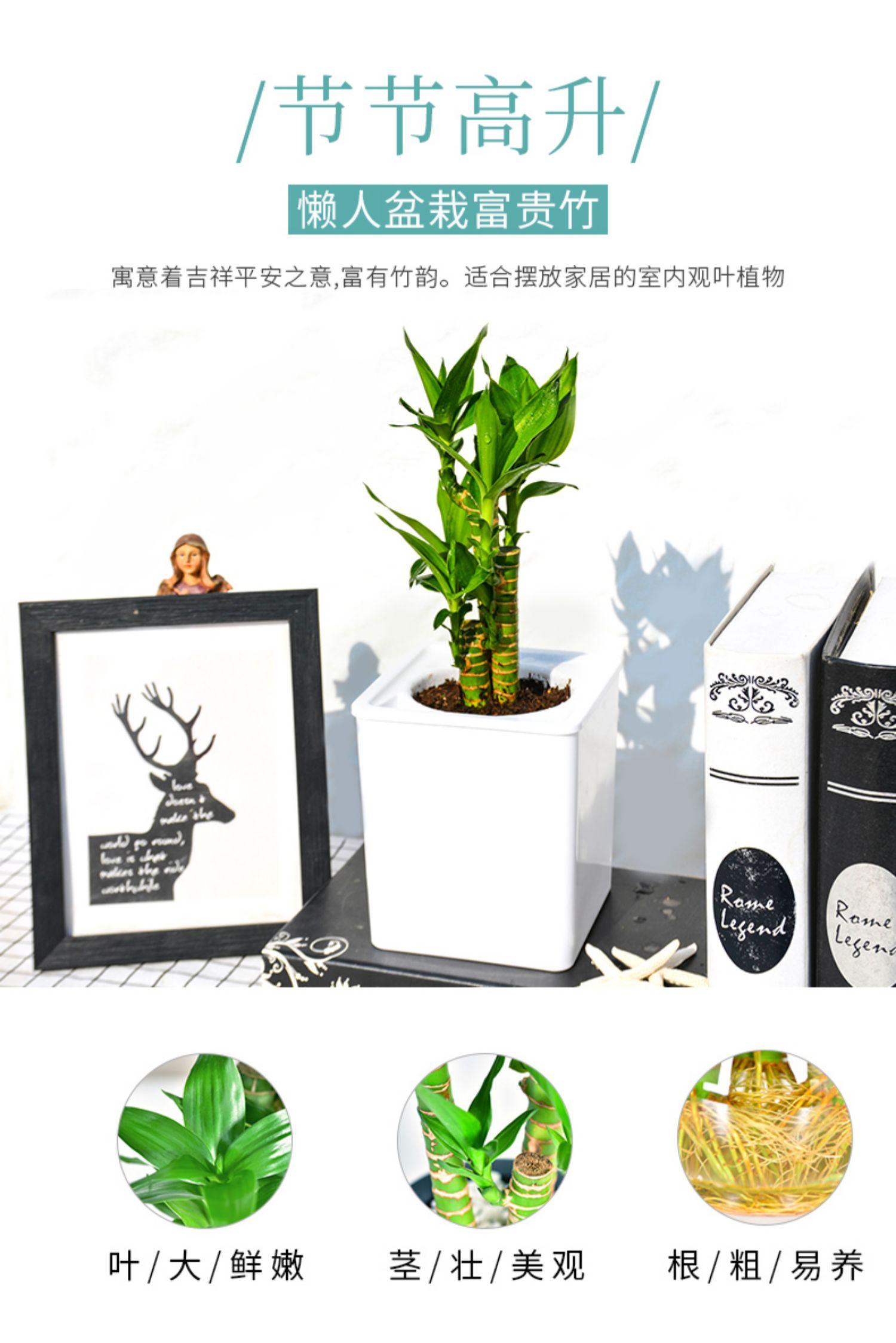 富贵竹植物转运竹水培盆栽 1