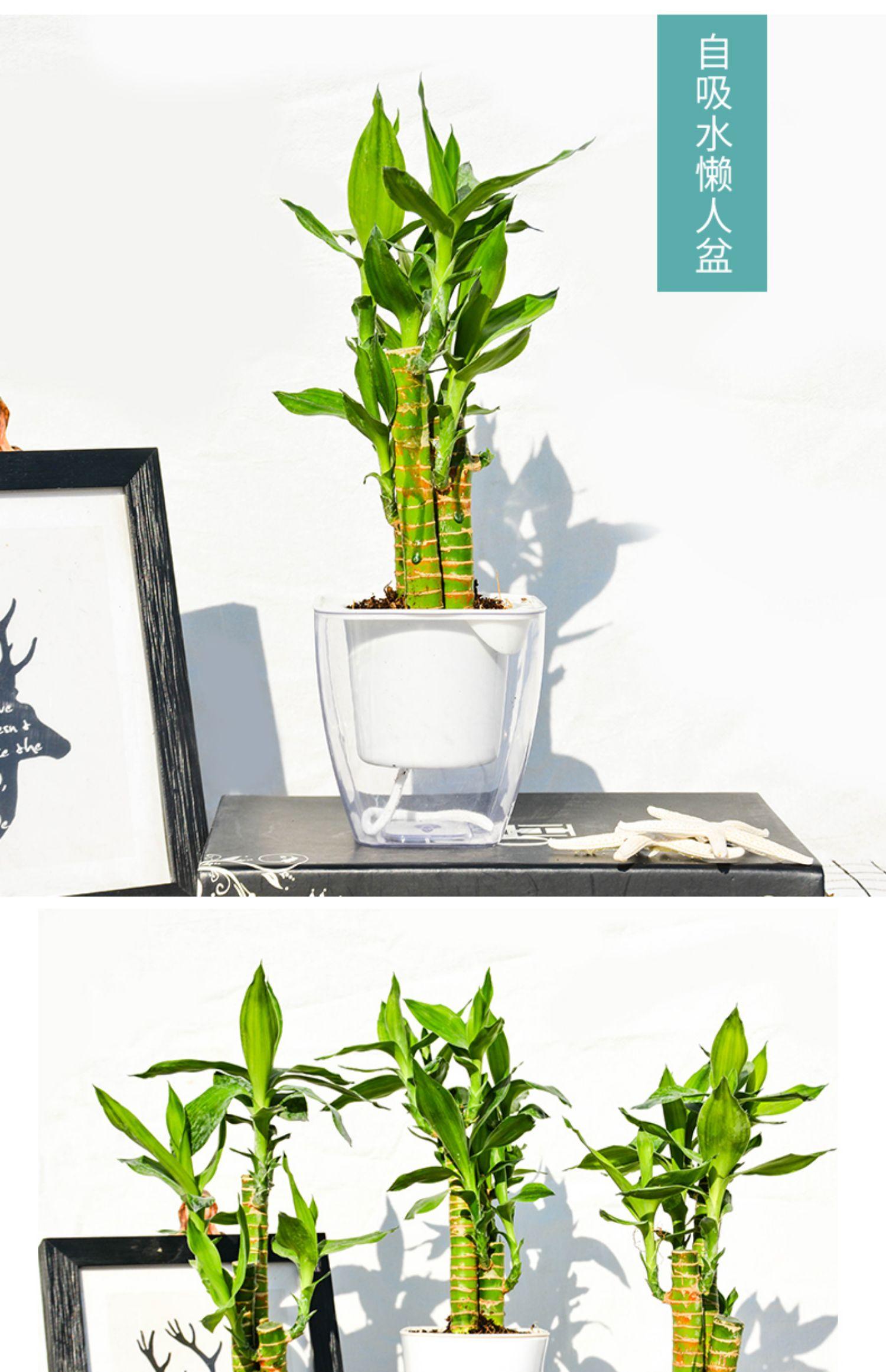 富贵竹植物转运竹水培盆栽 5