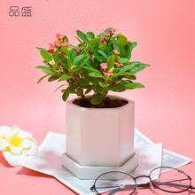 铁海棠虎刺梅办公室绿植盆栽