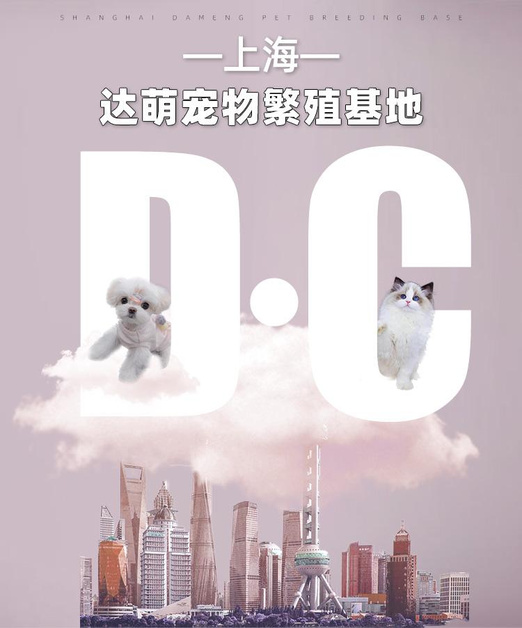 纯种布偶猫幼猫活体宠物猫咪幼崽网红猫上海可实地挑选详细照片