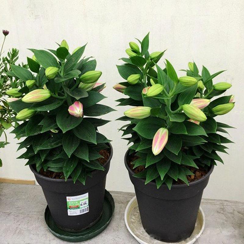 3颗百合花盆栽进口带芽香水百合室内外花卉盆栽四季开花百合种球