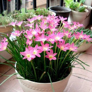Rain Lily flower petals Four Seasons Four Seasons hospital in a flower market flower house outdoor living is easy bulb onions orchid petals