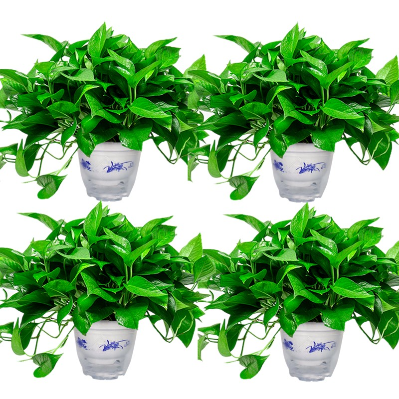 绿萝盆栽室内植物吸甲醛进化空气水培绿植懒
