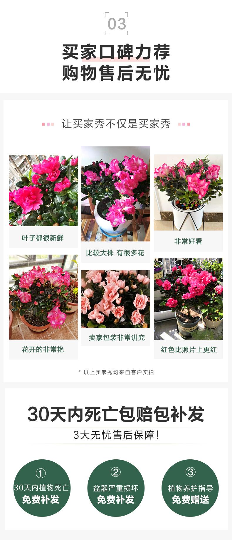 杜鹃花苗盆栽带花苞四季开花不断室内花卉绿植植物大棵好养年宵花详细照片
