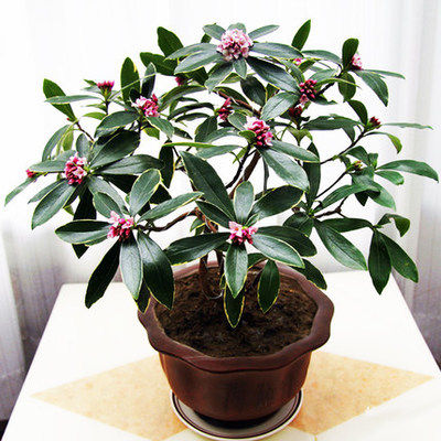 Phnom Penh Ruixiang potted aromatic green plants flowers purifying air flower plants bonsai cold-resistant fragrant Qianlixiang