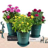 菊花盆栽四季开花带花苞多色可选含盆 券后6.8元起包邮