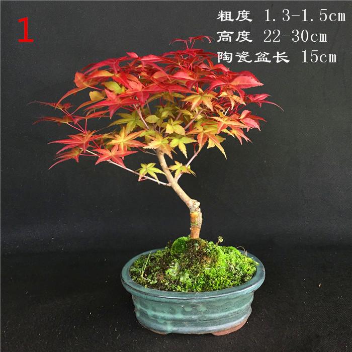 日本红枫稀有品种出猩猩盆长15cm盆景盆栽红叶系列枫树实物销售