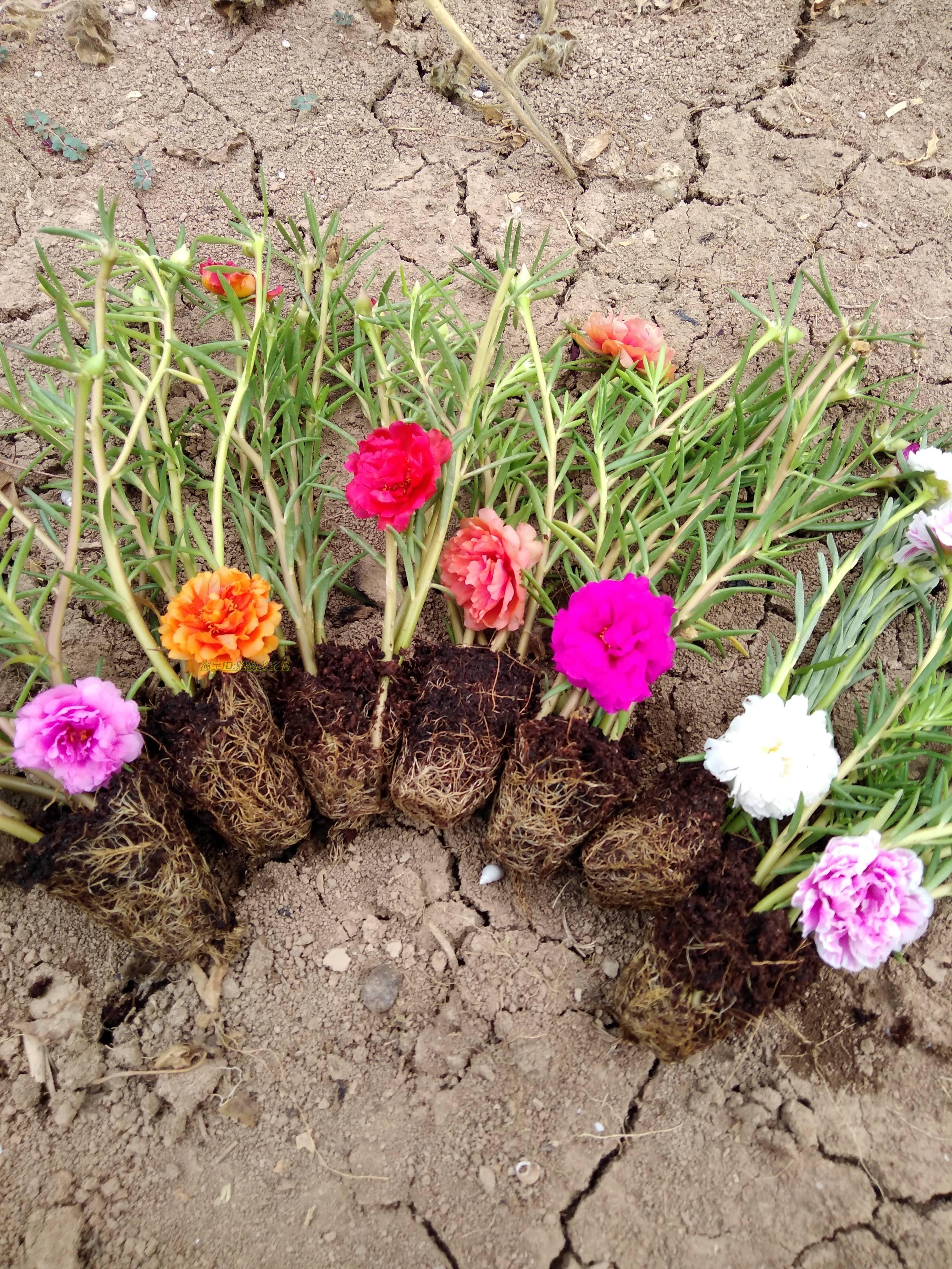 一套8色40棵20元重瓣太阳花有根带花苞宿根,种在阳光充足的地方