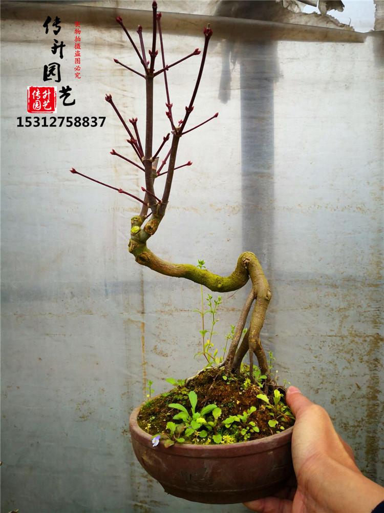日本红枫出猩猩红枫红叶系盆景类枫树绿植室内外盆栽