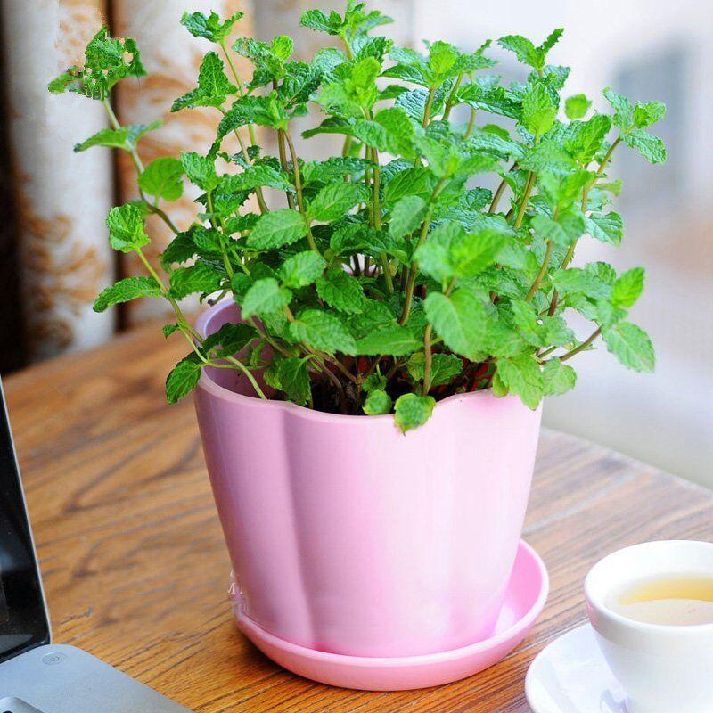 夏季植物四季驱蚊食用柠檬猫薄荷种子阳台室内盆栽播花草种子包邮