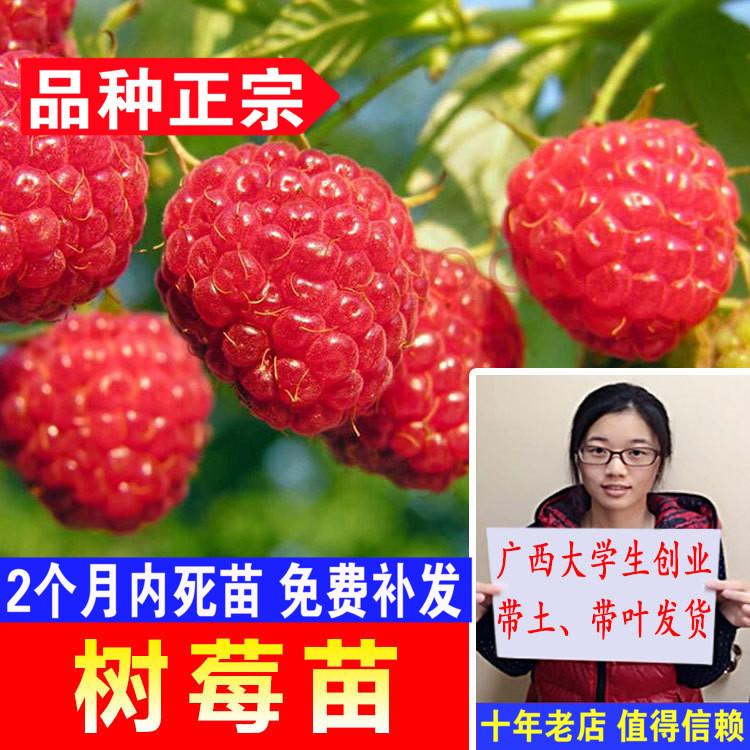 覆盆子黑树莓苗水果地栽双季红盆栽黄树莓苗南方北方树莓四季树苗