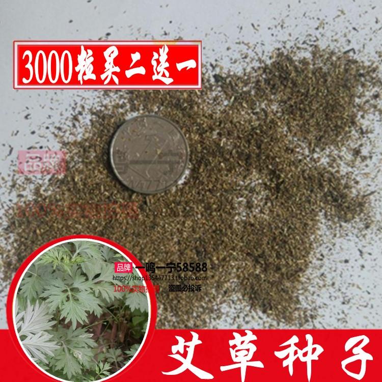 艾草种子四季种野生食用药用艾蒿阳台庭院驱蚊艾叶种子包邮免运费