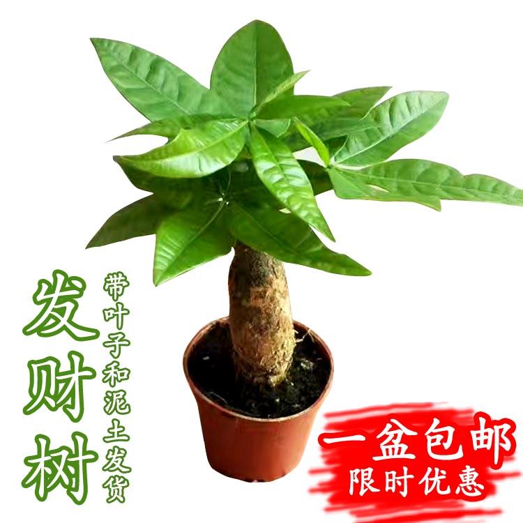 小苗发财树绿植招财树九里香栀子花桌面花卉办公室内辫子盆栽植物