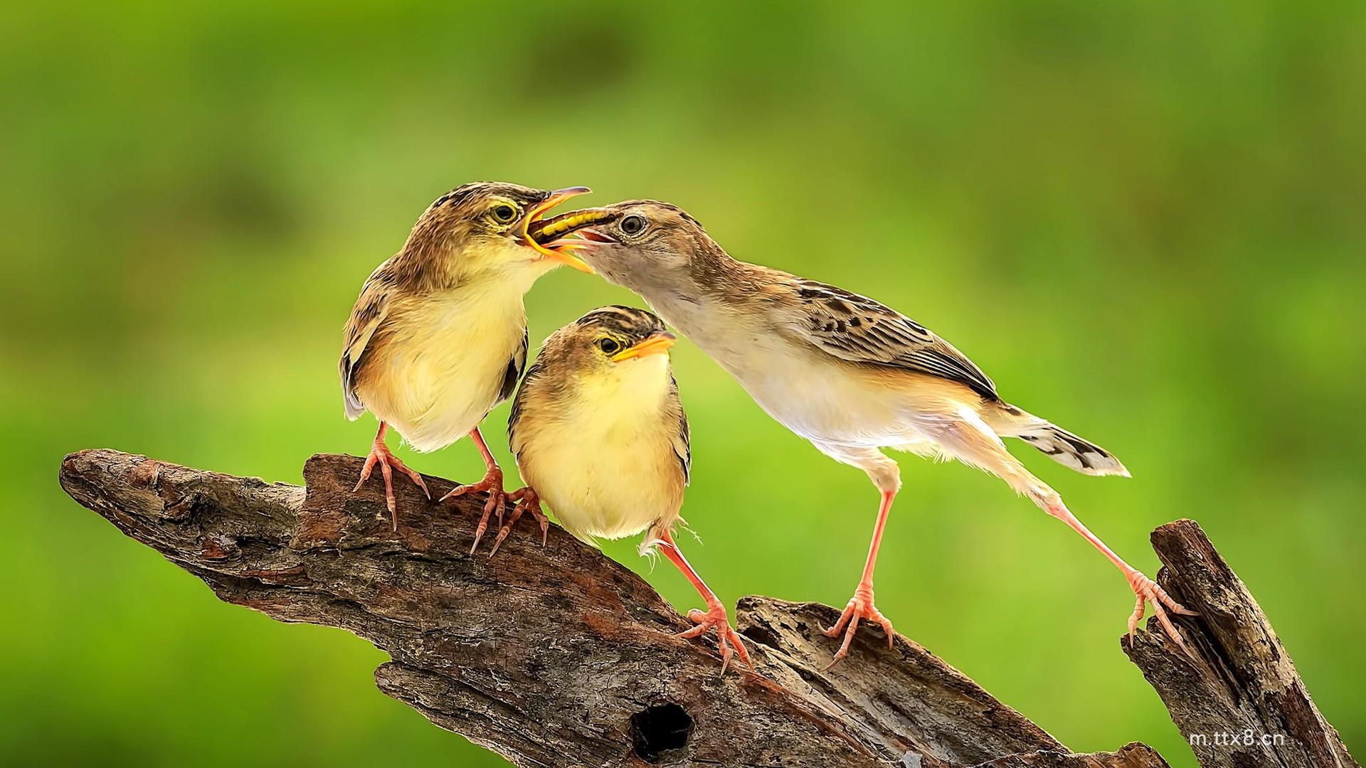鸟,喂食,爱,树段,可爱鸟儿桌面壁纸(1920x1080).jpg