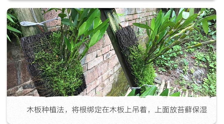 赤水金钗石斛苗盆栽云南霍山铁皮鼓槌天宫迭鞘米兰室内外绿植花卉详细照片