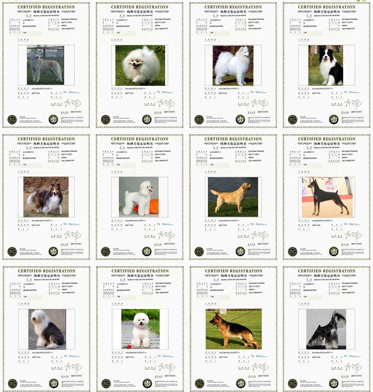 柯基犬 专业才能养好犬,欢迎到基地挑选,纯种