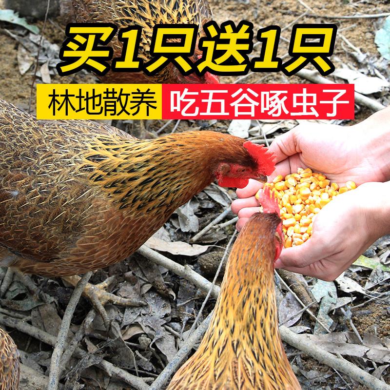 买一只送一只天农清远老母鸡农家散养新鲜土鸡 原种走地鸡900g